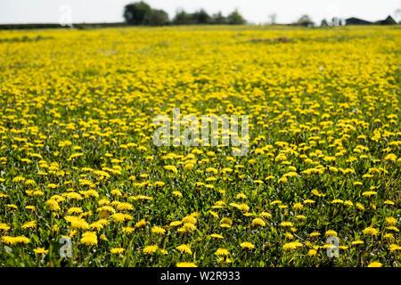 Blick über ein Feld von Löwenzahn mit leuchtend gelben Blüten. Stockbild
