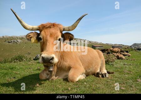 """Asturische Berg Kühen (Bos taurus) ruht in der Nähe der traditionellen Tierhaltung Scheunen oder """"ajadas', Majada de las Bobias, Seen von Covadonga, Spanien. Stockbild"""