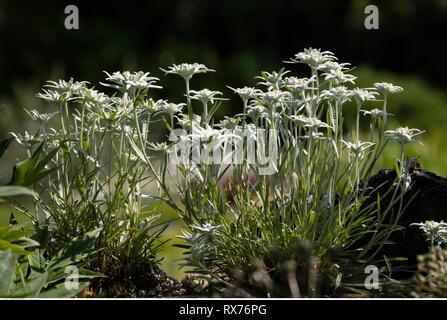 Botanik, Edelweiss (Leontopodium alpinum), Additional-Rights - Clearance-Info - Not-Available Stockbild