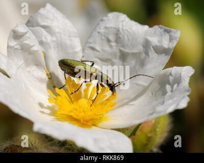 Falsche blister Käfer (Chrysanthia Viridissima) Pollen Fütterung auf Rock Rose (Cistus sp.) Blüte, Port Cros Island National Park, Frankreich. Stockbild