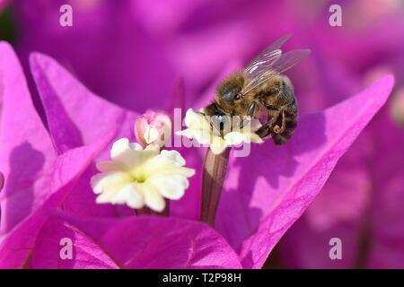 Honigbiene (Apis mellifera) nectaring auf Bougainvillea Blumen, Mallorca, Spanien, August. Stockbild