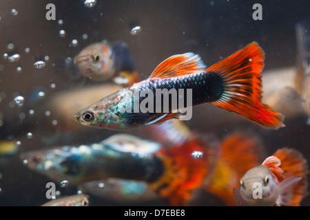 Guppy Fische Stockbild