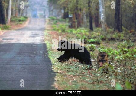 Faultiere, andhari tadoba Tiger Reserve, chandrapur, Maharashtra, Indien, Asien Stockbild