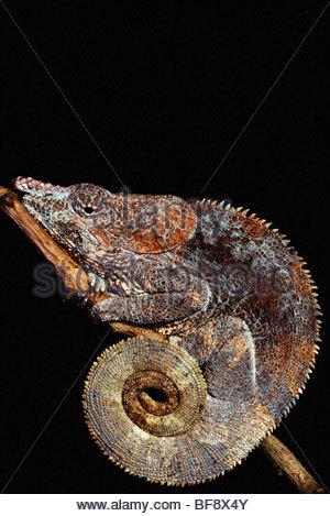 Kurz-gehörnte Chamäleon Calumma Brevicornis, Madagaskar Stockbild
