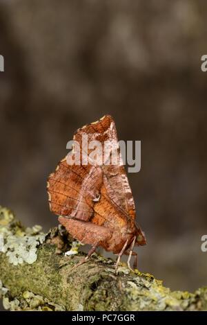 Frühe Thorn Motte (Selenia Dentaria) Erwachsenen auf Flechten bedeckt Zweig, Monmouth, Wales, April Stockbild