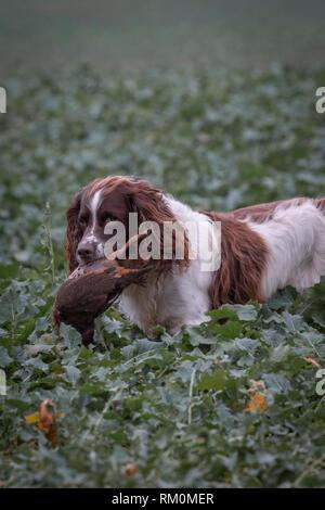 Traditionelle englische Spiel im Herbst Landschaft mit Gewehr Hunde. Stockbild