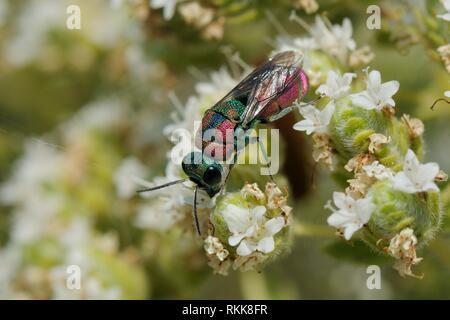 Ruby - Wespe/Kuckuck Wasp-tailed/Juwel Wasp (Pseudospinolia marqueti) Fütterung mit kretischer Oregano (Origanum onites) Blumen, Lesbos/Lesbos, Griechenland Stockbild