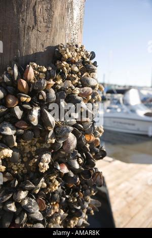 Muscheln und Seepocken an einer hölzernen Säule befestigt Stockbild