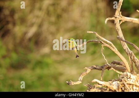 Zoologie/Tiere, Vögel (Aves), Little Bee Eater (merops Pusillus) aus der Familie der Bienenfresser, Serengeti Stockbild