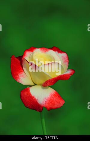 Rote und gelbe rose, Visakhapatnam, Andhra Pradesh, Indien, Asien Stockbild