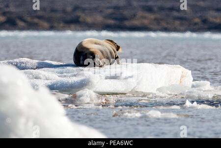 Bärtige Dichtung Festlegung auf dem Eis vor einem Gletscher, in Spitzbergen Norwegen Stockbild