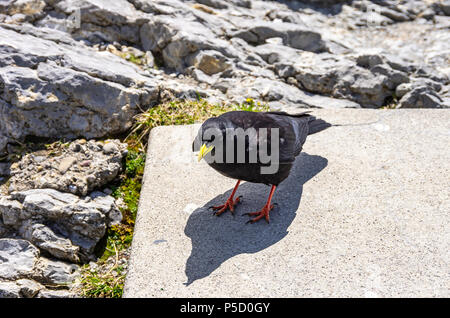 Studie eines Alpine chough auf dem Säntis in die Appenzeller Alpen, im Nordosten der Schweiz. Stockbild