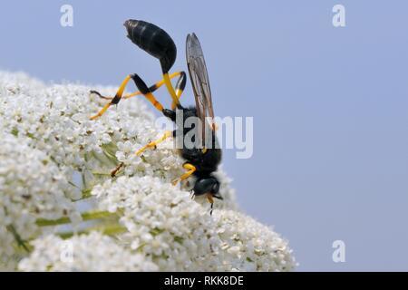 Schlamm dauber Wasp (Sceliphron destillatorium) Einziehen auf wilde Möhre/Queen Anne's Lace (Daucus carota) Blumen, Lesbos/Lesbos, Griechenland, Juni. Stockbild
