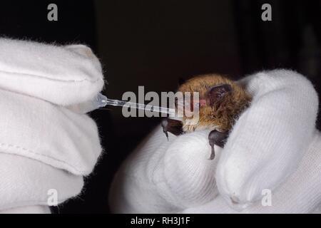 Whiskered bat (Myotis mystacinus) Wasser aus einer Pipette von Samantha Pickering am bat Rescue Center bei ihr zu Hause, Barnstaple, Devon, Großbritannien Stockbild