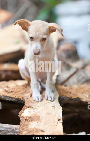 Schüchtern Welpen auf eine Planke - Seychellen - La Digue Stockbild