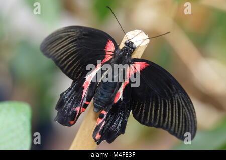 Papilio rumanzovia Stockbild