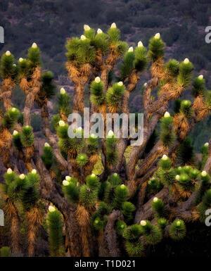 Bloomin Joshua Bäume. In der Nähe von Wlker Pass, Kalifornien Stockbild