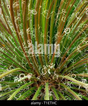 Agave (Agave geminflora) Moorten Botanical Garden. Palm Springs, Kalifornien Stockbild