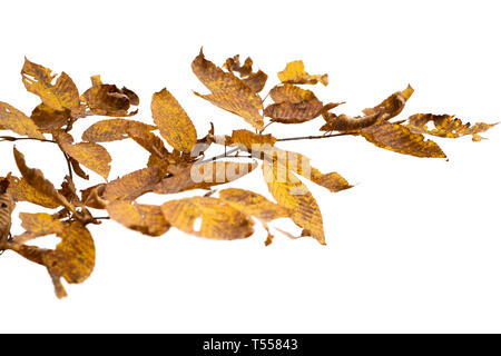 Zweig der Blätter im Herbst auf weißem Hintergrund Stockbild