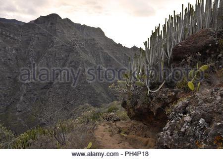 Wanderweg durch die vulkanische Landschaft mit sukkulenten Pflanzen, Anagagebirge in der Nähe von Punta del Hidalgo im Nordosten von Teneriffa Kanarische Inseln Spanien. Stockbild