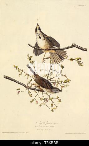 """Der Song sparrow. Von """"Die Vögel Amerikas"""", 1827-1838. Private Sammlung. Stockbild"""