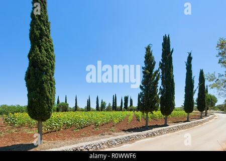 Santa Cesarea Terme, Apulien, Italien - Sonnenblumen auf einem Feld vor der Erntesaison Stockbild