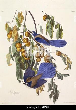 """Die Florida scrub jay. Von """"Die Vögel Amerikas"""", 1827-1838. Private Sammlung. Stockbild"""