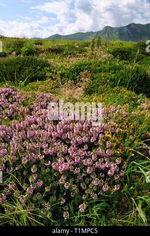 Cornish heath/Maritime Heidekraut (Erica vagans) und Western Stechginster (Ulex gallii) Blühende auf Küsten Heide bei Pria, Asturien, Spanien. Stockbild