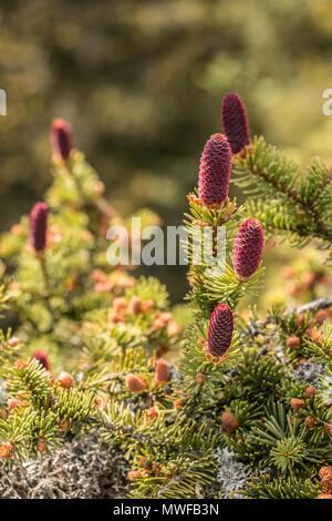 Großen Nadelbäumen mitten im Schwarzwald Stockbild