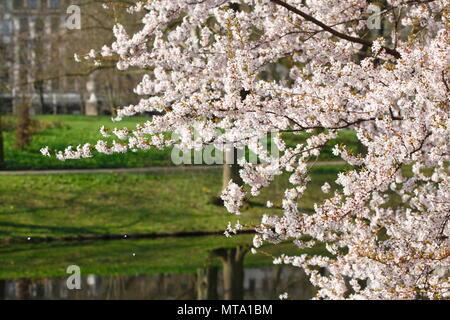 Kirschblüten auf Ästen vor einem Körper von Wasser, Deutschland, Europa ich Kirschblüten auf Baumzweigen vor einem Gewässer, Deutschland Stockbild