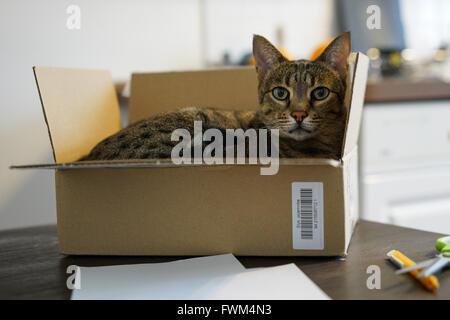 Porträt der Katze im Karton auf Tisch Stockbild