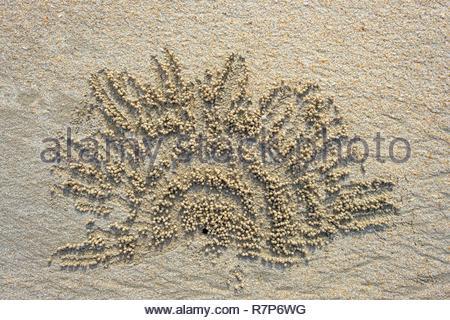 Thailand Songkhla Provinz, Tarutao National Marine Park, Ko Tarutao Insel, Ao Molae bucht, Sand bubbler Crab bilden Sand pellets Stockbild