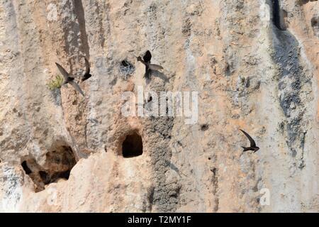 Blassen Swift (Apus pallidus) Gruppe in der Nähe von Eingängen zu nisten in erodiert Räum in den steilen Kalksteinfelsen fliegen, in der Nähe von Santa Maria Navarrese, Sardinien, J Stockbild