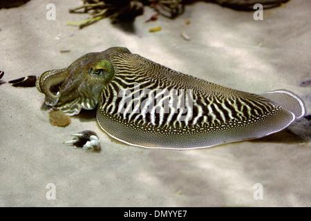 Europäischen gemeinsamen Tintenfisch, Sepia Officinalis, Sepiidae, Sepiida, Kopffüßer, Mollusca. Mittelmeer, Nordsee, Ostsee. Stockbild