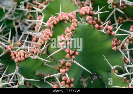 Big-Horn/Coe gehörnten Wolfsmilch (Euphorbia grandicornis) einer Ostafrikanischen Arten, mit der Entwicklung von Obst, Lanzarote. Stockbild