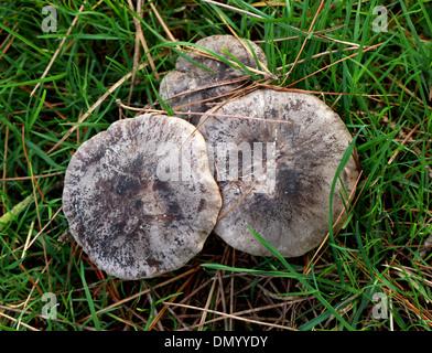 Voll Brittlegill Pilz, ubling Densifolia, Russulaceae. Stockbild