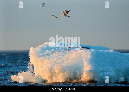 Migrant Möwen in Alarm wie die aufgetürmt, wind See sie sitzen auf teilweise kollabiert waren wie es taut, Peipsi, Estland, April. Stockbild