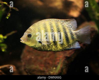 Afrikanische Buntbarsche, Buntbarsche, Barsch, Chordata. Süßwasserfische aus Malawi-See. Stockbild
