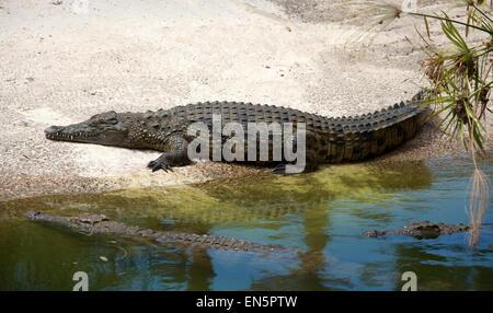 Nil-Krokodil, Crocodylus Niloticus, Crocodylidae. Stockbild