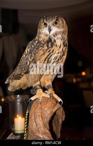 Uhu (Bubo bubo) an NGALA Wildlife Preserve, Naples, Florida, USA posing Stockbild