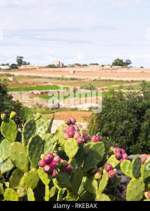 Ländliche Landschaft in Malta mit Opuntia Kakteen, Feigenkaktus, Felder und Steinmauern an einem sonnigen Tag Stockbild