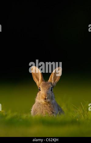 Kaninchen Oryctolagus Cuniculus Porträt einer Warnung junge Kaninchen sitzen im Abendlicht Norfolk, Großbritannien Stockbild