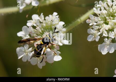 Weibliche Wasp hormonähnliche Hoverfly (Ceriana vespiformis) Beschickung von Möhre/Queen Anne's Lace (Daucus carota) Blumen, Lesbos/Lesbos, Griechenland, Ma Stockbild