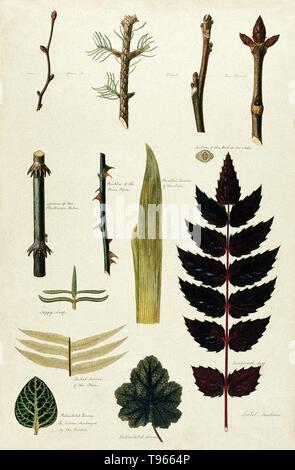 Verschiedene blatt Formen, Blatt Äderung, bud Arrangements und holzige Stängel. Aquarell von Isabel Sawkins. Die Abbildung enthält: Kalk, Tanne, Fichte, Walnuss, Rosskastanie, Abschnitt der Knospe der Asche, Stacheln des plecticomo Palm, Stacheln des Brier Rose, parallel die Nerven der Iris, sappy Blatt, verzweigt die Nerven der Farn, vernetztem Nerven, die Farbe, die von den Nerven entladen, vernetztem Nerven und compound Leaf. Stockbild