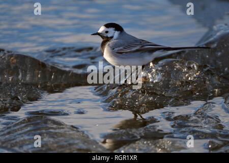 Bachstelze (Motacilla alba alba) Nahrungssuche auf Wind See Eis am Ufer im Frühjahr angehäuft, Peipsi, Estland, April. Stockbild