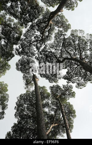 Muster der Wipfel der Bäume aus dem Boden zu sehen Stockbild