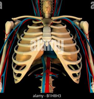 Anatomie-Zirkulation-Herz-Lungen Stockbild