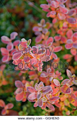 Botanik, herbstliche Farben Anfang September. Der Urho-Kekkonen-Nationalpark, Lappland, Additional-Rights - Clearance Stockbild