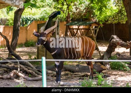Bongo (Tragelaphus Eurycerus) in einem Zoo, Zoo von Barcelona, Barcelona, Katalonien, Spanien Stockbild
