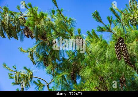 Zweige der Weymouth Kiefer Pinus strobus, voller reifer Zapfen. Stockbild